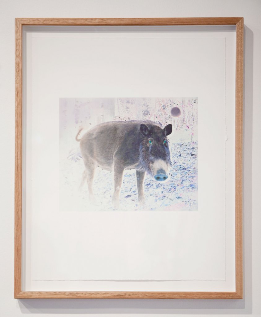 Janet Laurence <em>Fabled 5 – Bearded Pig (sus barbatus)</em>, 2011  camera-trap images of animals in the wild of Aceh, Sumatra  archival pigment prints on cotton rag, image 25 x 30 cm